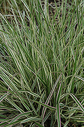 Overdam Variegated Reed Grass (Calamagrostis x acutiflora 'Overdam') at Eagle Lake Nurseries