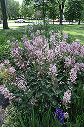 Pink Gas Plant (Dictamnus albus 'var. purpureus') at Eagle Lake Nurseries