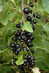 Ben Nevis Black Currant (Ribes nigrum 'Ben Nevis') at Eagle Lake Nurseries