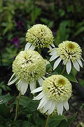 Coconut Lime Coneflower (Echinacea 'Coconut Lime') at Eagle Lake Nurseries