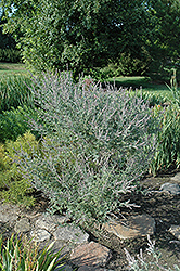 Wild Indigo Bush (Leadplant) (Amorpha canescens) at Eagle Lake Nurseries
