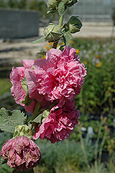Chater's Double Pink Hollyhock (Alcea rosea 'Chater's Double Pink') at Eagle Lake Nurseries