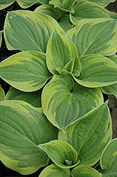 Wide Brim Hosta (Hosta 'Wide Brim') at Eagle Lake Nurseries