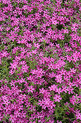 Crimson Beauty Moss Phlox (Phlox subulata 'Crimson Beauty') at Eagle Lake Nurseries