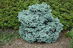 Thume Blue Spruce (Picea pungens 'Thume') at Eagle Lake Nurseries