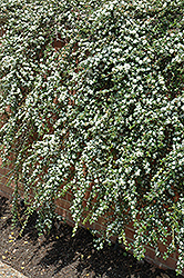 Coral Beauty Cotoneaster (Cotoneaster dammeri 'Coral Beauty') at Eagle Lake Nurseries