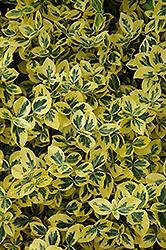 Emerald 'n' Gold Wintercreeper (Euonymus fortunei 'Emerald 'n' Gold') at Eagle Lake Nurseries
