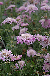Pink Mist Pincushion Flower (Scabiosa 'Pink Mist') at Eagle Lake Nurseries