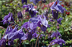 Alpine Columbine (Aquilegia alpina) at Eagle Lake Nurseries