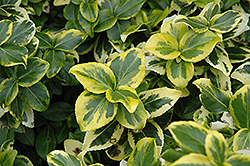 Gold Prince Wintercreeper (Euonymus fortunei 'Gold Prince') at Eagle Lake Nurseries