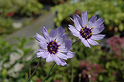 Cupid's Dart (Catananche caerulea) at Eagle Lake Nurseries