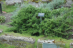 New Blue Tam Juniper (Juniperus sabina 'New Blue Tam') at Eagle Lake Nurseries