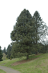 Yellow Pine (Ponderosa) (Pinus ponderosa) at Eagle Lake Nurseries