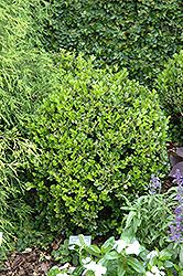 Winter Gem Boxwood (Buxus microphylla 'Winter Gem') at Eagle Lake Nurseries