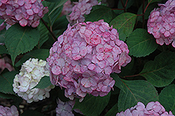 Pink Beauty Hydrangea (Hydrangea macrophylla 'Pink Beauty') at Eagle Lake Nurseries