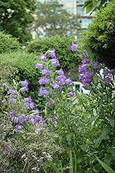 Canterbury Bells (Campanula medium) at Eagle Lake Nurseries
