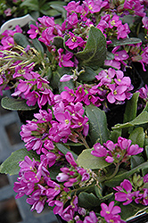 Spring Charm Rock Cress (Arabis 'Spring Charm') at Eagle Lake Nurseries