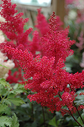 Montgomery Japanese Astilbe (Astilbe japonica 'Montgomery') at Eagle Lake Nurseries