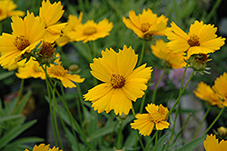 Baby Sun Tickseed (Coreopsis lanceolata 'Sonnenkind') at Eagle Lake Nurseries
