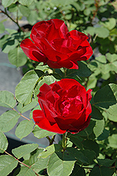 Emily Carr Rose (Rosa 'Emily Carr') at Eagle Lake Nurseries