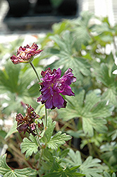 Birch's Double Cranesbill (Geranium himalayense 'Birch's Double') at Eagle Lake Nurseries