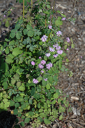 Hewitt's Double Meadow Rue (Thalictrum delavayi 'Hewitt's Double') at Eagle Lake Nurseries
