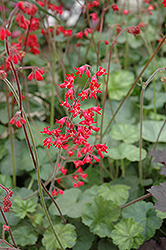 Firefly Coral Bells (Heuchera 'Firefly') at Eagle Lake Nurseries