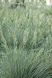 Elijah Blue Fescue (Festuca glauca 'Elijah Blue') at Eagle Lake Nurseries