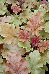 Marmalade Coral Bells (Heuchera 'Marmalade') at Eagle Lake Nurseries