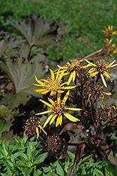 Osiris Cafe Noir Rayflower (Ligularia 'Osiris Cafe Noir') at Eagle Lake Nurseries