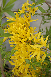Gold Tide Forsythia (Forsythia x intermedia 'Gold Tide') at Eagle Lake Nurseries