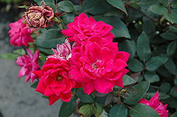 Red Double Knock Out Rose (Rosa 'Red Double Knock Out') at Eagle Lake Nurseries