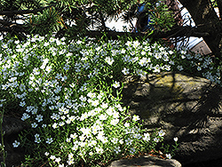 Mountain Sandwort (Arenaria montana) at Eagle Lake Nurseries