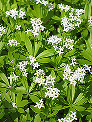 Sweet Woodruff (Galium odoratum) at Eagle Lake Nurseries