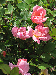 Rainbow Knock Out® Rose (Rosa 'Radcor') at Eagle Lake Nurseries