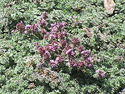 Wooly Thyme (Thymus pseudolanuginosis) at Eagle Lake Nurseries