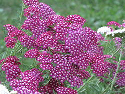 Cherry Queen Yarrow (Achillea millefolium 'Cerise Queen') at Eagle Lake Nurseries