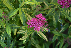 Double Play® Painted Lady® Spirea (Spiraea japonica 'Minspi') at Eagle Lake Nurseries