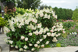 Pinky Winky Hydrangea (Hydrangea paniculata 'DVPPINKY') at Eagle Lake Nurseries