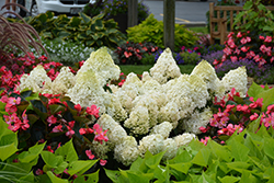 Little Lime® Hydrangea (Hydrangea paniculata 'Jane') at Eagle Lake Nurseries
