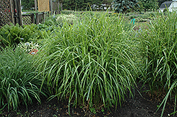 Porcupine Grass (Miscanthus sinensis 'Strictus') at Eagle Lake Nurseries