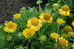 Mesa Yellow Blanket Flower (Gaillardia x grandiflora 'Mesa Yellow') at Eagle Lake Nurseries