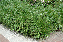 Fountain Grass (Pennisetum alopecuroides) at Eagle Lake Nurseries