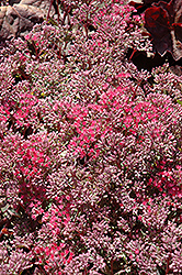 Rosy Glow Stonecrop (Sedum 'Rosy Glow') at Eagle Lake Nurseries