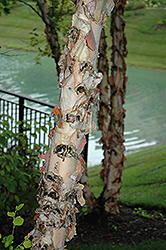 River Birch (Betula nigra) at Eagle Lake Nurseries