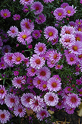 Purple Dome Aster (Aster novae-angliae 'Purple Dome') at Eagle Lake Nurseries