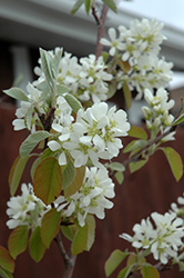 Standing Ovation™ Saskatoon Berry (Amelanchier alnifolia 'Obelisk') at Eagle Lake Nurseries
