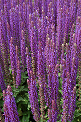 East Friesland Sage (Salvia nemorosa 'East Friesland') at Eagle Lake Nurseries