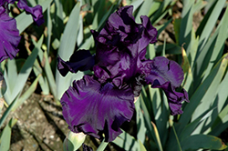 Dusky Challenger Iris (Iris 'Dusky Challenger') at Eagle Lake Nurseries