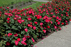 Knock Out® Rose (Rosa 'Radrazz') at Eagle Lake Nurseries